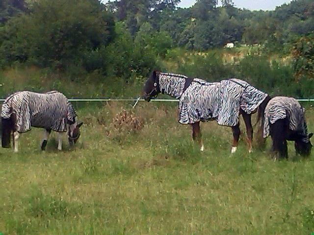 Freilaufende Zebras im Münsterland